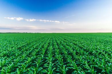 Съвети за засаждане на царевица за висок добив през 2019